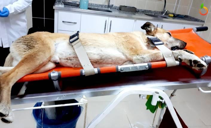 Depremden Yaralanan Hayvanlar Tedavi Ediliyor