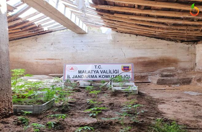 Malatya'da Kenevir Ekimi  Yapılan Eve Jandarma'dan Baskın