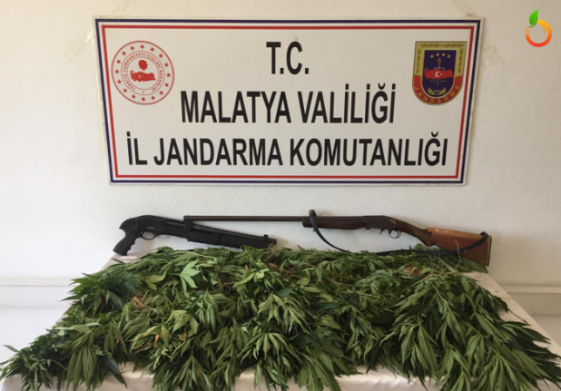 Malatya'da 480 kök kenevir ele geçirildi