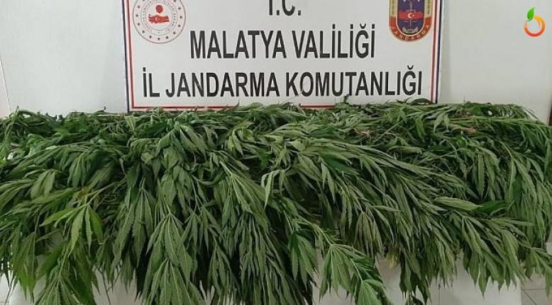 Malatya'da  hazine arazisine uyuşturucu ektiler