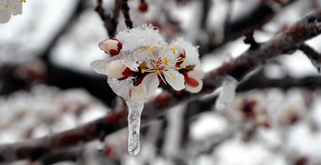 Beklenmeyen Kar Yağışı Kayısıya Zarar Verdi