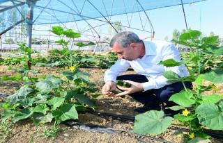 Başkan Çınar, İlk Hasadı Elleriyle Topladı