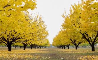 Kayısı Ağaçlarında Sonbahar Mücadelesi Uyarısı