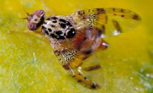 Akdeniz meyve sineğinin zararları