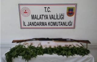 Malatya'da 327 kök kenevir bitkisi ele geçirildi