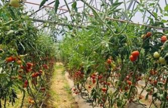 Yeşilyurt'ta Çiftçiler Ürün Hasadına Başladı